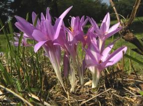 Il Colchico, uno delle specie floreali estinte nel parco di Ancona a causa della inadeguata manutenzione del verde operata dal Comune